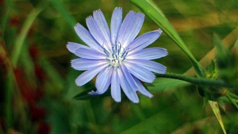 Žućenica plavog cvijeta –  cikorija ili vodopija